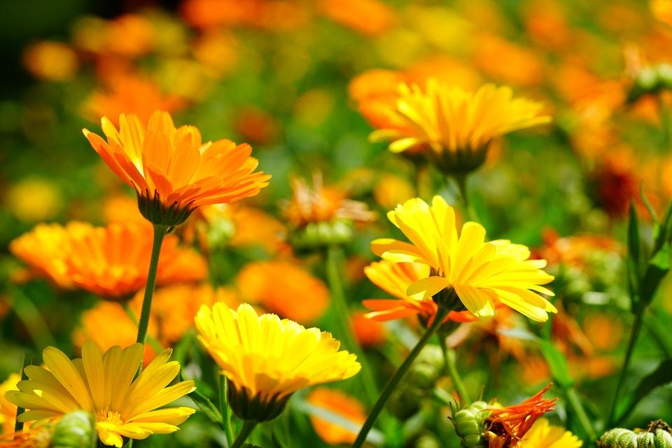marigold-3528402_960_720